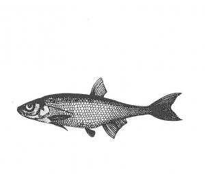 Zu den Mücken-Jägern gehören Kleinfische, darunter das Moderlieschen [Grafik: aus Naturschutz Praktisch, Nr. 33, 1983]