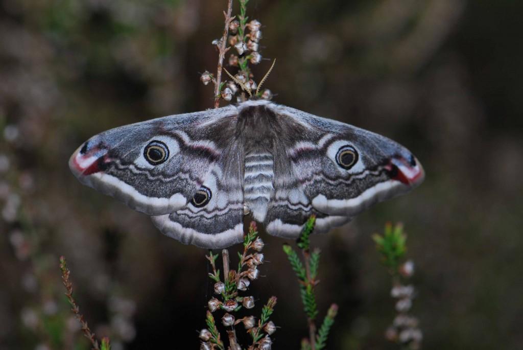Hochmoore, auch teilentwässerte, sind heute reich an wirbellosen Tieren darunter Ameisen und Schmetterlingen wie Bärenspinner, Heidekrautbürstenspinner und (hier abgebildet) Nachtpfauenaugen. Foto: D. Tornow