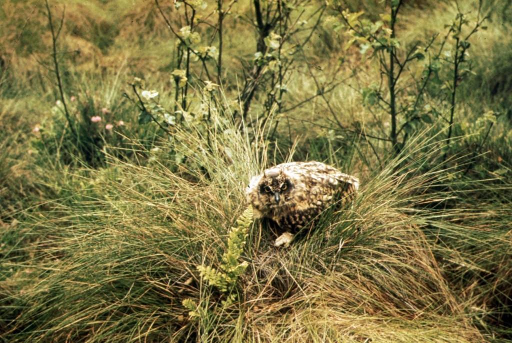 Bodenbrüter wie die Sumpfohreule finden in Hochmooren wie der Tinner Dose Brut- und Nahrungs-möglichkeiten. Gelege und Jungvögel werden auch durch Schwelbrände vernichtet. Foto: Gerhard Großkopf / BSH-Archiv