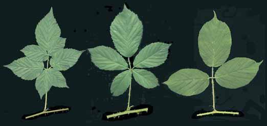 Beispiele für unterschiedliche Blattformen. – Links ein 7-zähliges Blatt der Eingeschnittenen Brombeere (Rubus scissus). In der Mitte ein 5-zähliges Blatt der Wald-Brombeere (Rubus silvaticus). Rechts ein 3-zähliges Blatt der Träufelspitzen-Brombeere (Rubus pedemontanus